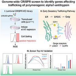Read more at: New molecular insights into alpha-1-antitrypsin-deficiency